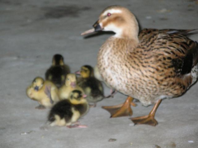 48408_dogs_and_ducks_david_063.jpg