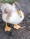 48408_tess_duck.jpg