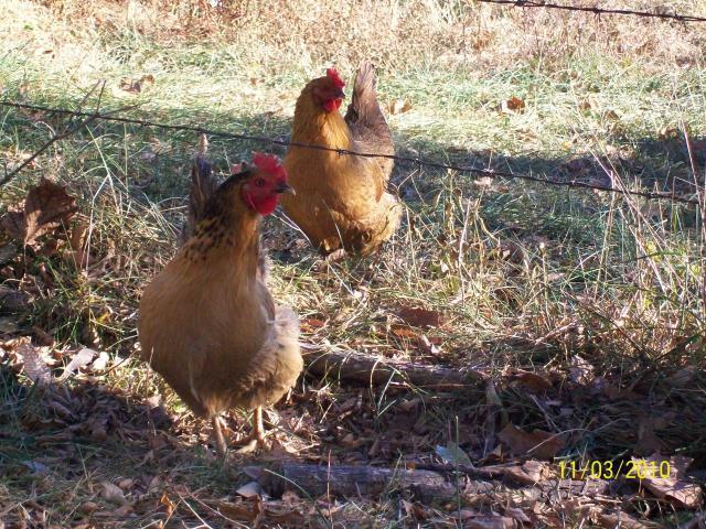 http://www.backyardchickens.com/forum/uploads/48412_liesls_pics_575.jpg