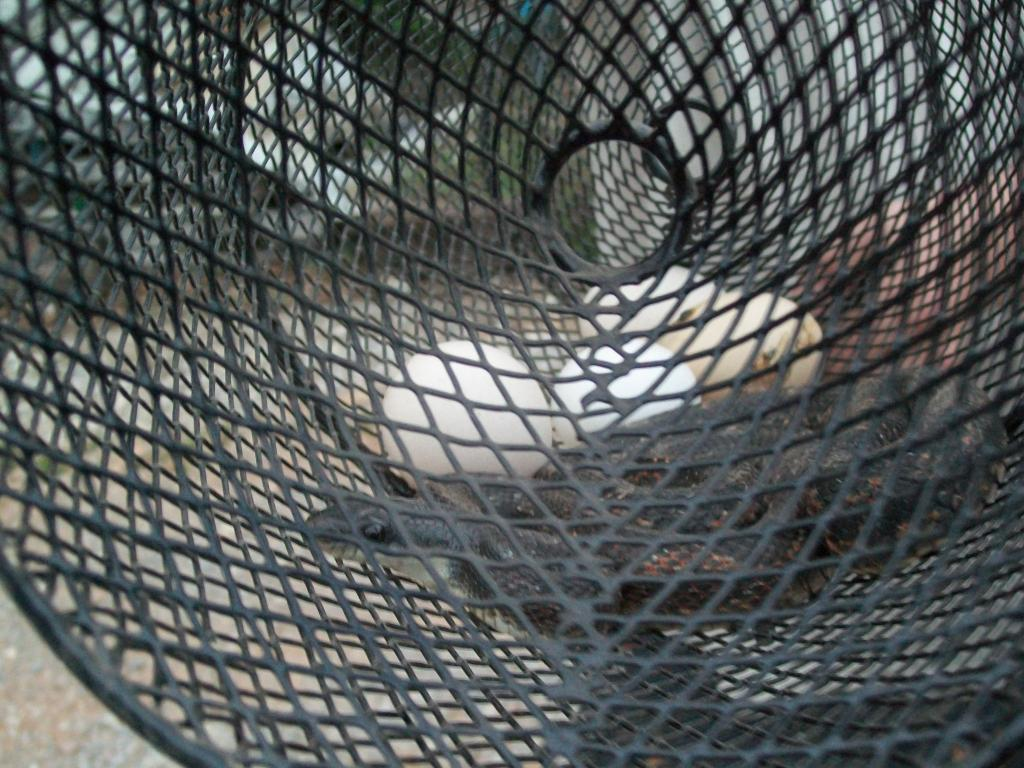 Http www backyardchickens com forum uploads 48473 snaketrap 014 jpg