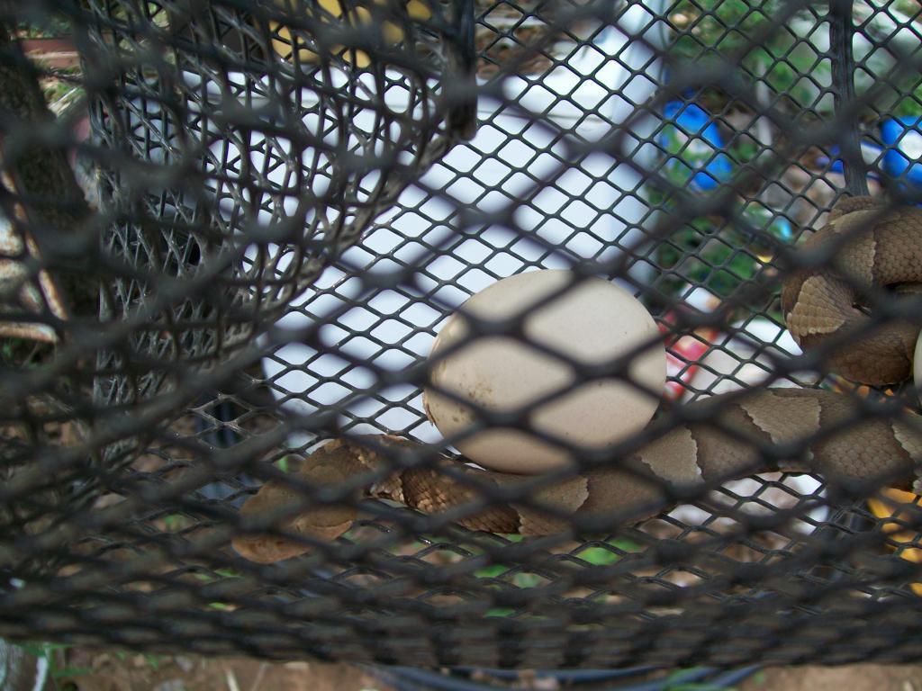Http www backyardchickens com forum uploads 48473 snaketrap 057 jpg