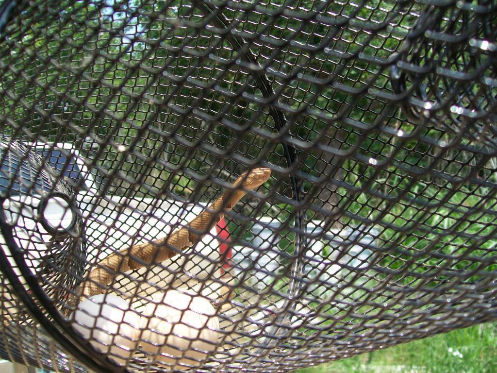 Http www backyardchickens com forum uploads 48473 snaketrap 066 jpg