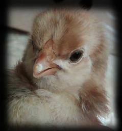 http://www.backyardchickens.com/forum/uploads/48894_img00475-20100603-1224.jpg