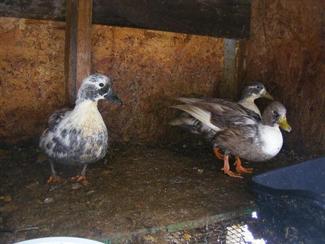 http://www.backyardchickens.com/forum/uploads/49478_dscf4314.jpg
