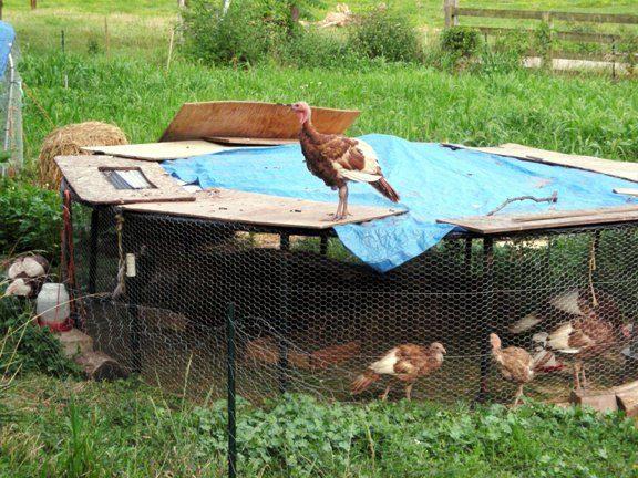 http://www.backyardchickens.com/forum/uploads/4957_trampoline_coop_1.jpg
