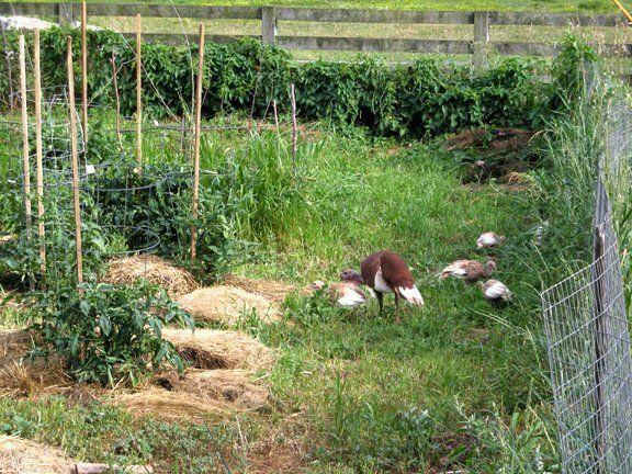 http://www.backyardchickens.com/forum/uploads/4957_turkeys_in_the_garden.jpg