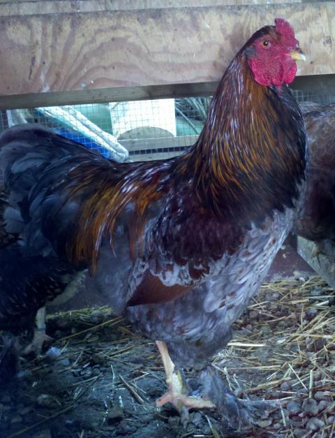 http://www.backyardchickens.com/forum/uploads/50754_2011-03-22_15-39-14_240.jpg