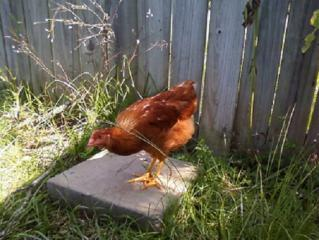 http://www.backyardchickens.com/forum/uploads/51084_photo371.jpg