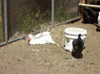 http://www.backyardchickens.com/forum/uploads/51426_100_0944.jpg