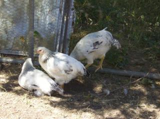 http://www.backyardchickens.com/forum/uploads/51426_100_0953.jpg