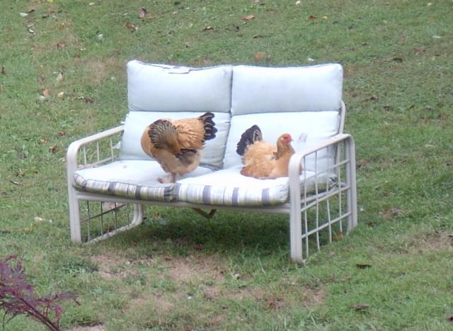 http://www.backyardchickens.com/forum/uploads/51710_im000099.jpg