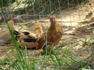 http://www.backyardchickens.com/forum/uploads/51814_dsc00568_001.jpg