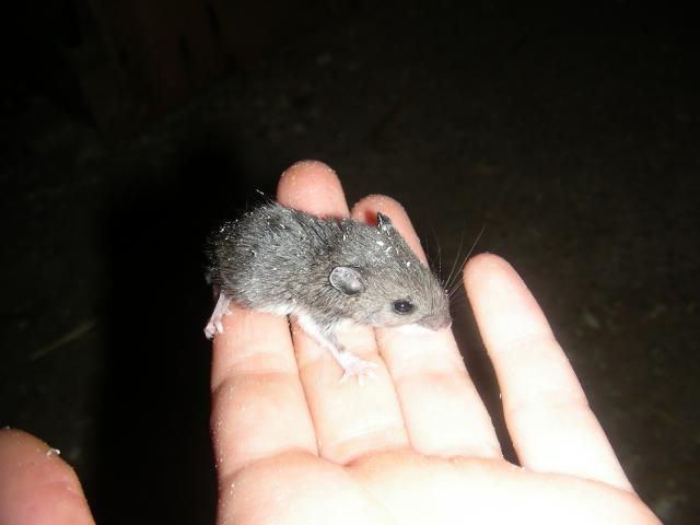 Wild Baby Mouse