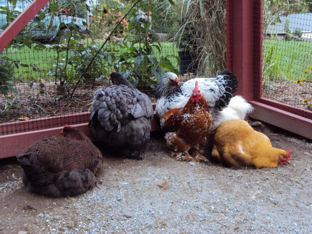 http://www.backyardchickens.com/forum/uploads/52396_dsc01579.jpg