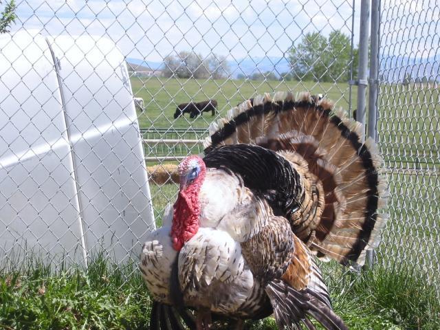 http://www.backyardchickens.com/forum/uploads/52541_sweetgrass_0012.jpg