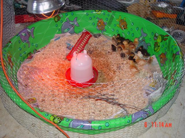 53095_homemade_cheep_brooder_2.jpg