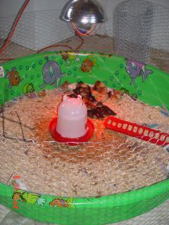 53095_homemade_cheep_brooder_4.jpg