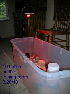 53112_dining_room_chickens.jpg