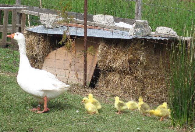 http://www.backyardchickens.com/forum/uploads/53184_romangoslings1day_013-crop.jpg