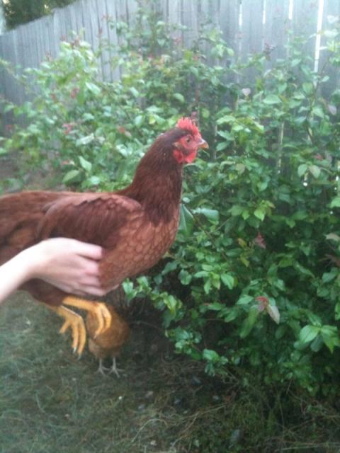 http://www.backyardchickens.com/forum/uploads/53289_photo1_2.jpg
