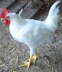 http://www.backyardchickens.com/forum/uploads/53380_chickens_045.jpg