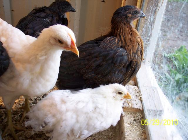 http://www.backyardchickens.com/forum/uploads/53827_100_2155.jpg