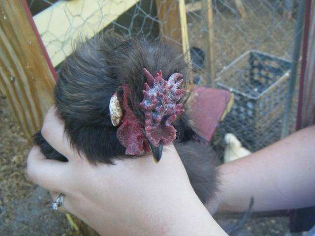 http://www.backyardchickens.com/forum/uploads/53830_dscf9164.jpg