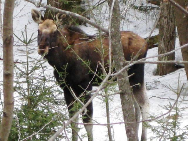 54076_moose_in_vt_march_09_6.jpg