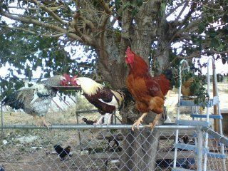 http://www.backyardchickens.com/forum/uploads/5415_nugget_and_the_boys.jpg