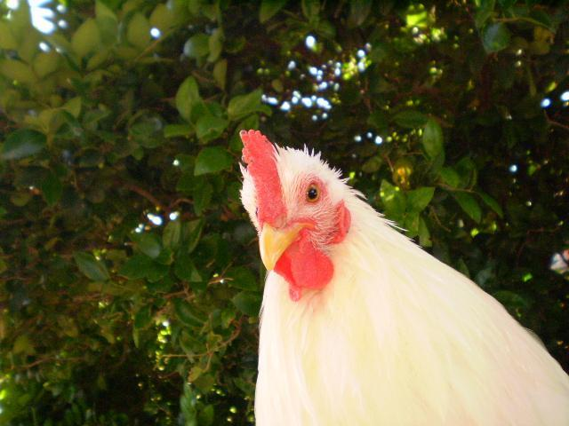http://www.backyardchickens.com/forum/uploads/5415_pa140032.jpg