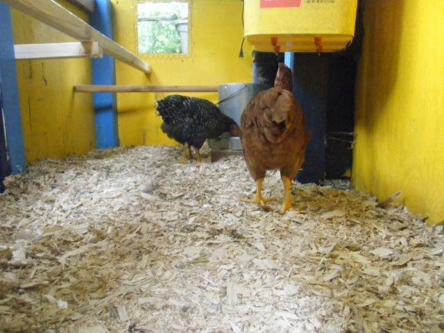 http://www.backyardchickens.com/forum/uploads/55040_267.jpg