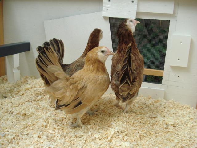 55102_chicks1.jpg