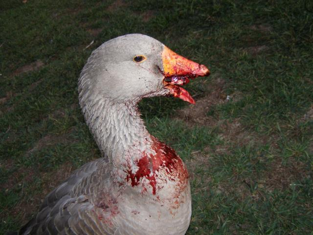 Duck without mask