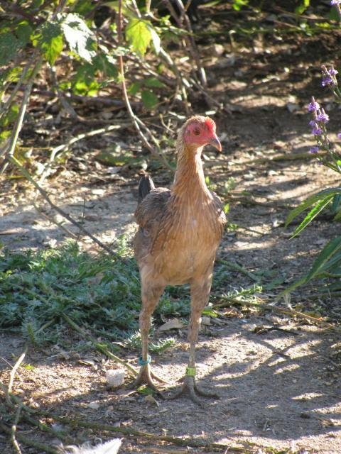 http://www.backyardchickens.com/forum/uploads/5531_img_9336.jpg