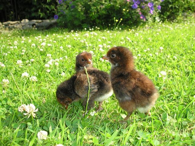 http://www.backyardchickens.com/forum/uploads/55380_picture_451.jpg