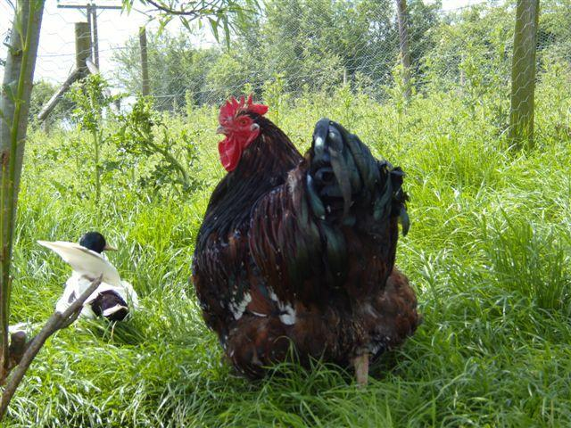 http://www.backyardchickens.com/forum/uploads/55380_poultry_751.jpg
