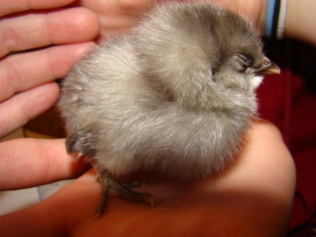 5538_chicks_016.jpg