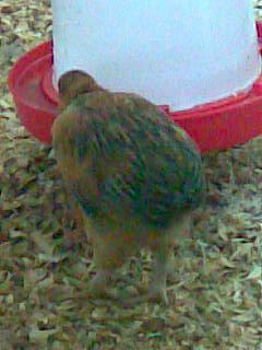 http://www.backyardchickens.com/forum/uploads/55471_image096.jpg