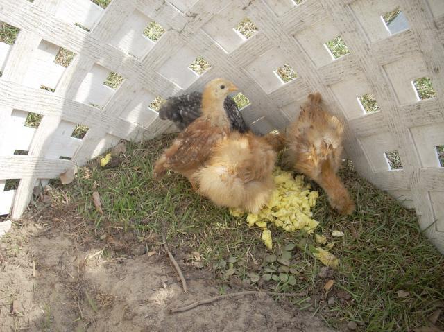 Jason9111s Chicken Coop Backyard Chickens