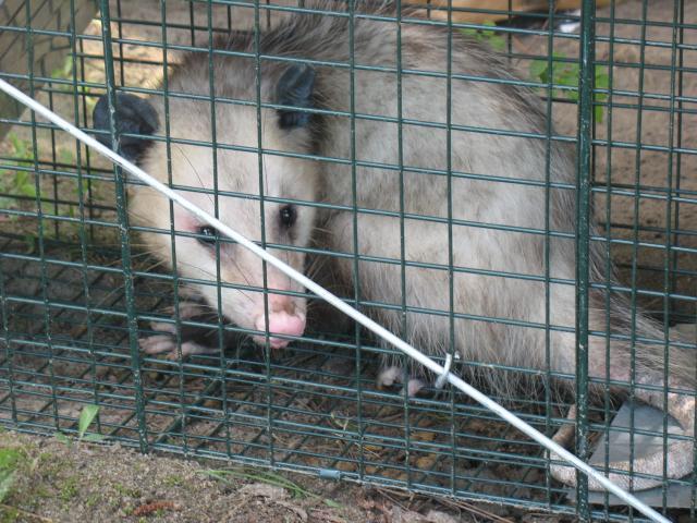 55864_possum.jpg