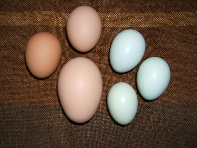 http://www.backyardchickens.com/forum/uploads/56124_eggs2.jpg