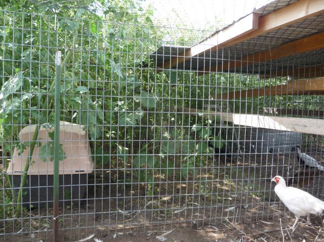 http://www.backyardchickens.com/forum/uploads/5661_afri_016.jpg