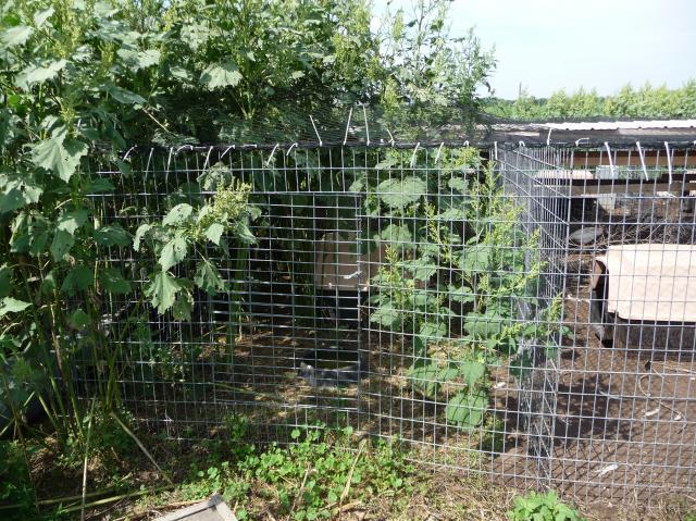 http://www.backyardchickens.com/forum/uploads/5661_afri_021.jpg