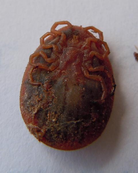 Underside of poultry tick