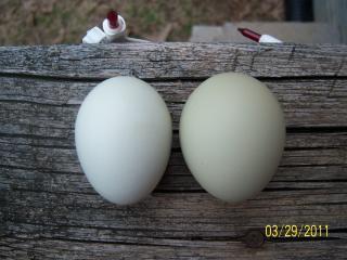 http://www.backyardchickens.com/forum/uploads/56682_100_1760.jpg