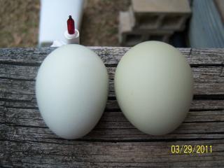 http://www.backyardchickens.com/forum/uploads/56682_100_1761.jpg