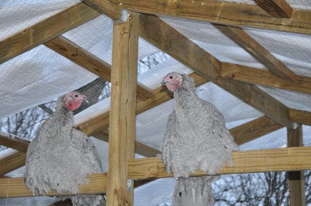 http://www.backyardchickens.com/forum/uploads/57131_dsc_0026.jpg