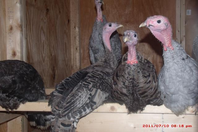 http://www.backyardchickens.com/forum/uploads/57454_gedc0823.jpg