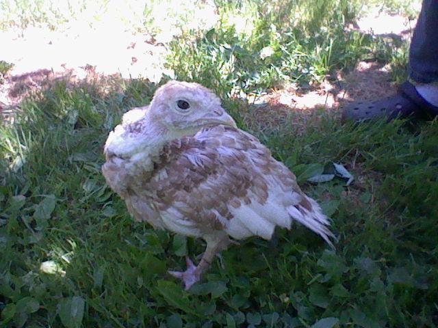 http://www.backyardchickens.com/forum/uploads/57454_turkeys_004.jpg