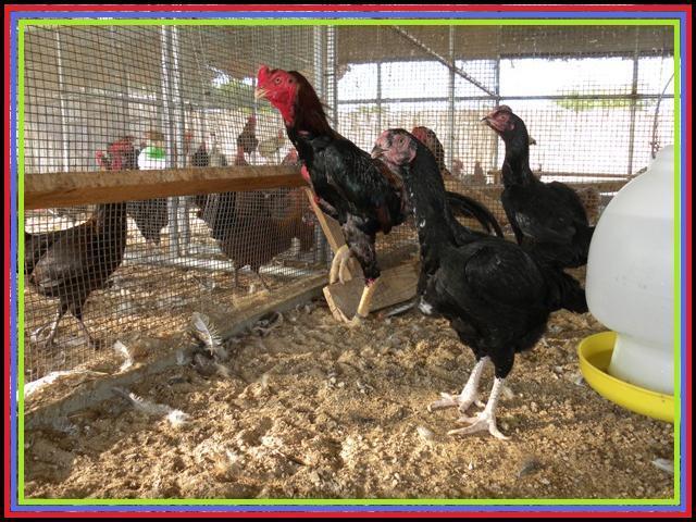 http://www.backyardchickens.com/forum/uploads/57476_dscn1292.jpg